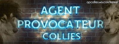 Hodowla Agent Provocateur Collies