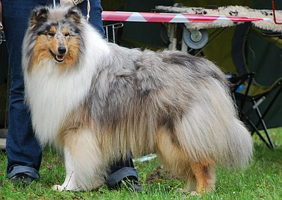 Hodowla collie&sheltie Of Endless Hills